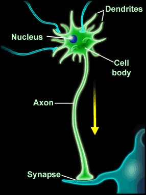 Neurotransmitters in a  nerve synapse
