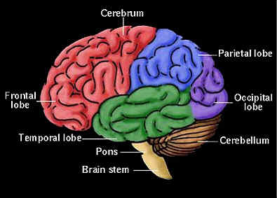 external image brainparts.jpg